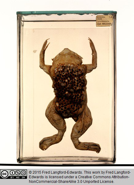 Grant Museum Of Zoology On Twitter Our Surinam Toad Gets A Plug
