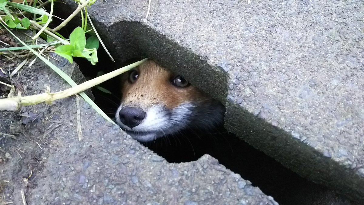たまたま仕事中に出会った野生のキツネと会話を試みた。餌付けしちゃうと人里降りてきて轢かれたりしたら悲しいから食べ物は全くあげていないけど、エキノコックス無かったらお持ち帰りしたいレベルでキツネ大好き( ´▽`)♡可愛すぎだ。 pic.twitter.com/Ryh8Veqk7e