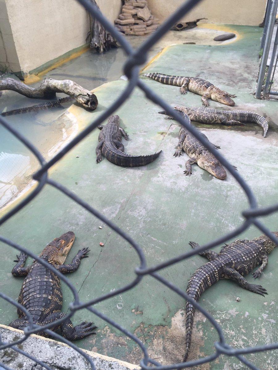 eliott c  mclaughlin on twitter    at black hammock on lake jesup in oviedo  florida alligators are the main attraction  https   t co tenvlgzkg3   eliott c  mclaughlin on twitter    at black hammock on lake jesup      rh   twitter