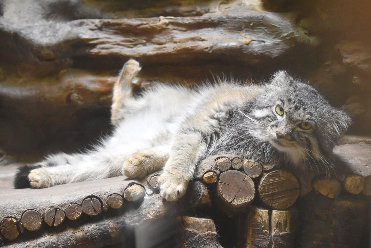 蒸し暑さの滲む紫陽花の季節です。この先に待つ夏本番へ想いを馳せながら、上野動物園の小獣館は空調の効いた室内施設だったことを思い出します。…ところで、もしやお忘れでないですか?不足しがちな成分の補給を。そう、つまりマヌルネコを。 pic.twitter.com/KYwYb2R5WO