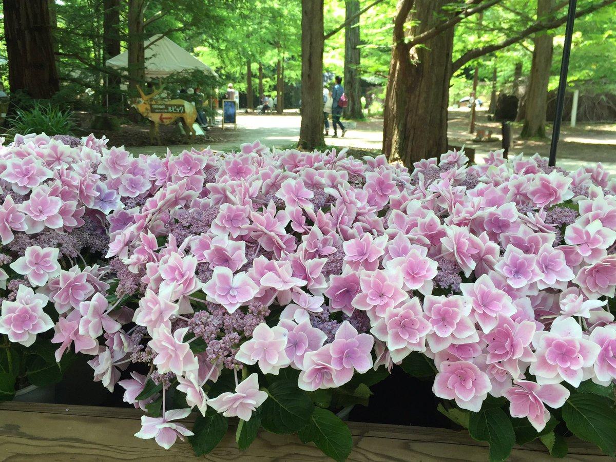 可愛いアジサイ「コンペイトウ」#森林植物園#神戸#花#アジサイ https://t.co/nYv4ghCoLe
