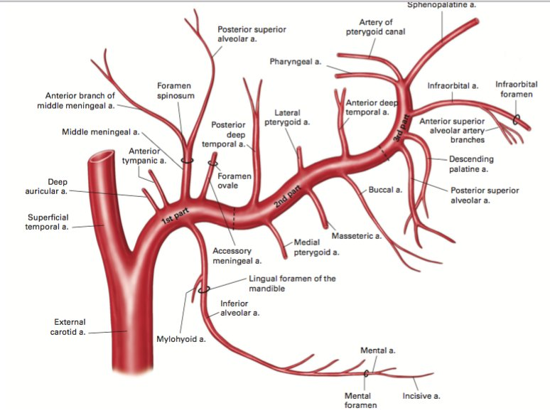 Image result for maxillary artery