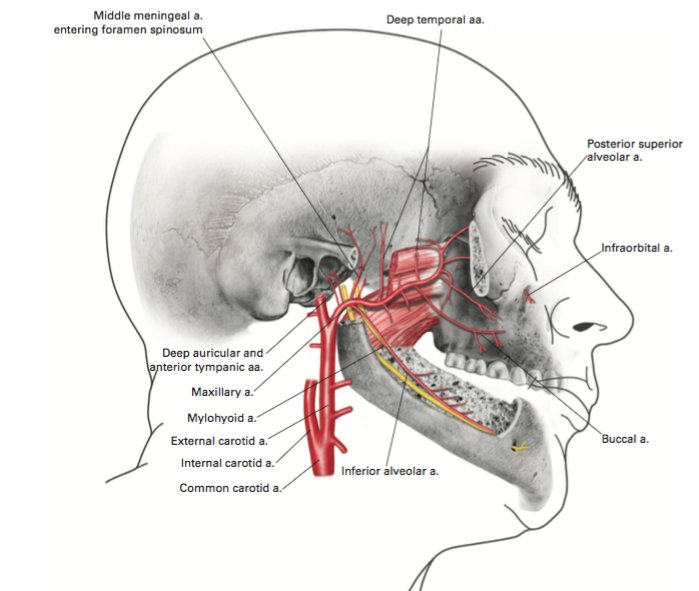 On Twitter The Maxillary Artery Arises In The