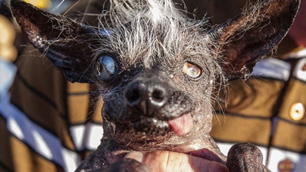 chinese crested chihuahua