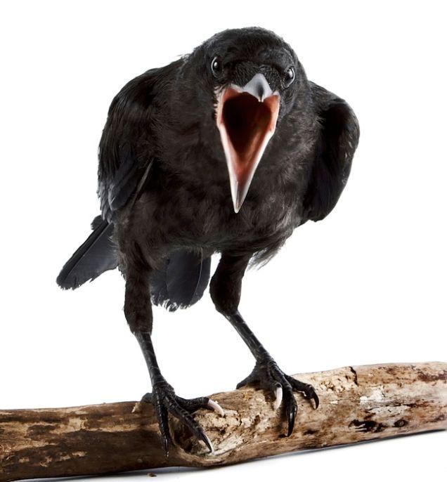 Colton Bridge (@bridgecoltonj) | Twitter A Crow Left Of The Murder