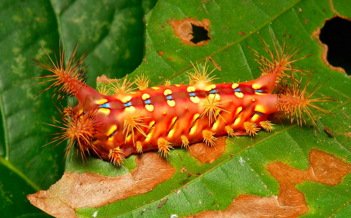 Stinging Rose Caterpillar