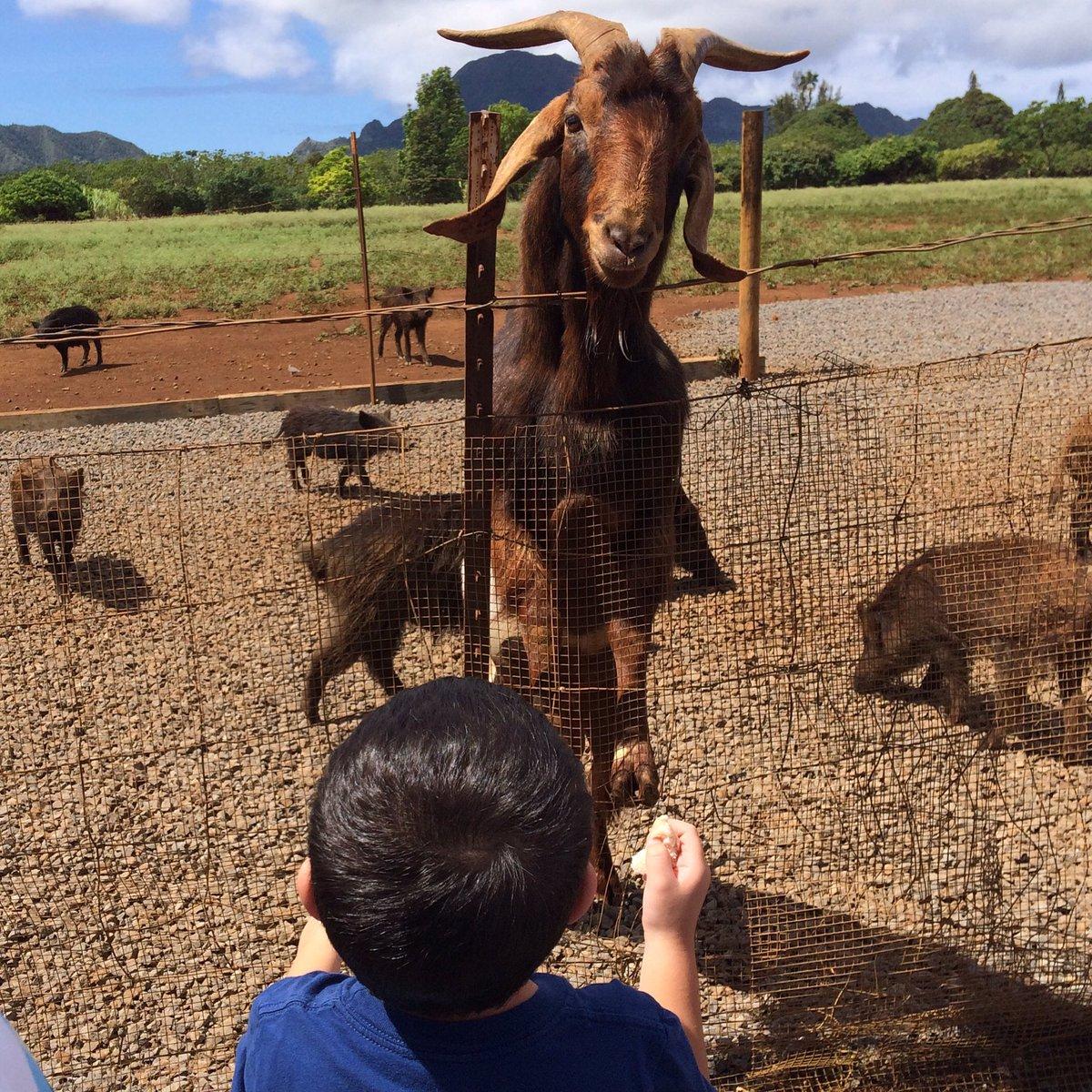 The kiddos had a blast feeding the pigs & goats! https://t.co/RmuwSCknXP #kauai #familytravel https://t.co/lWxl5XnANC