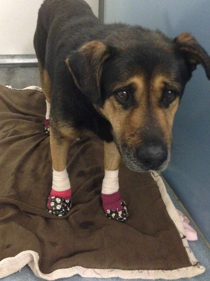 This injured dog from the #BorderFire is safe at our Bonita shelter, but we're looking for his owners. 619-236-2341 https://t.co/lKO9IwMMv8