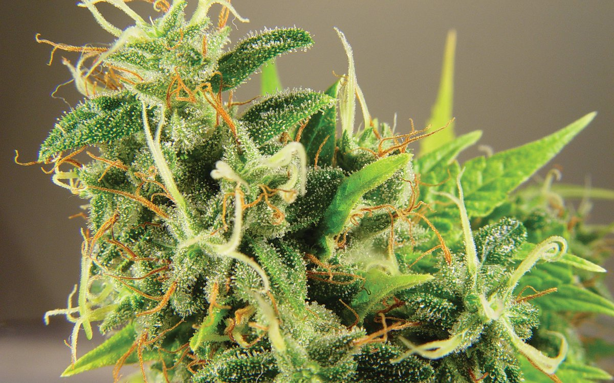 Which Weed Is The Smelliest: Indica or Sativa? – High Times