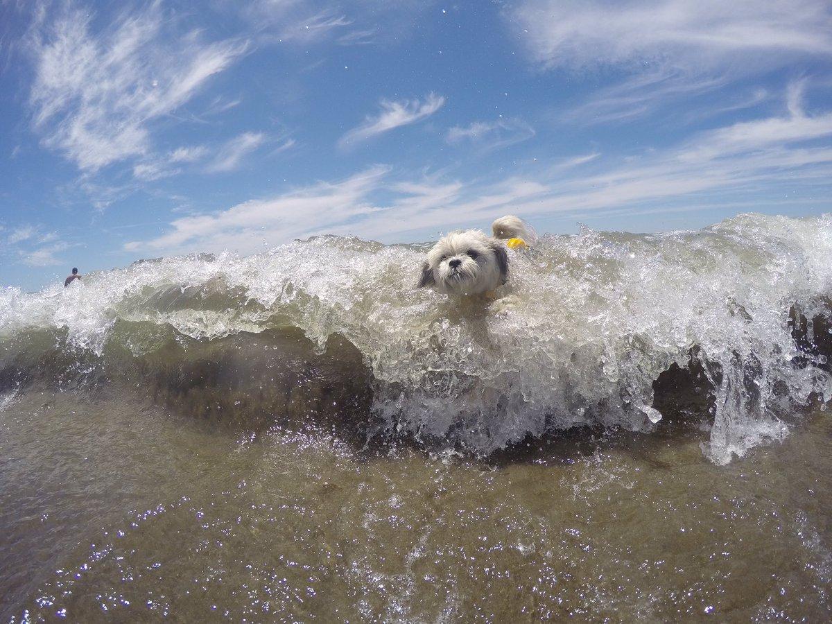 Coconut Cam On Twitter Gopro Charlie The Surfing Shih Tzu Hitting Telkomsel 17 Hero Session Big Waves At Ocean Beach Sf Goprodogs Goclear Happydog