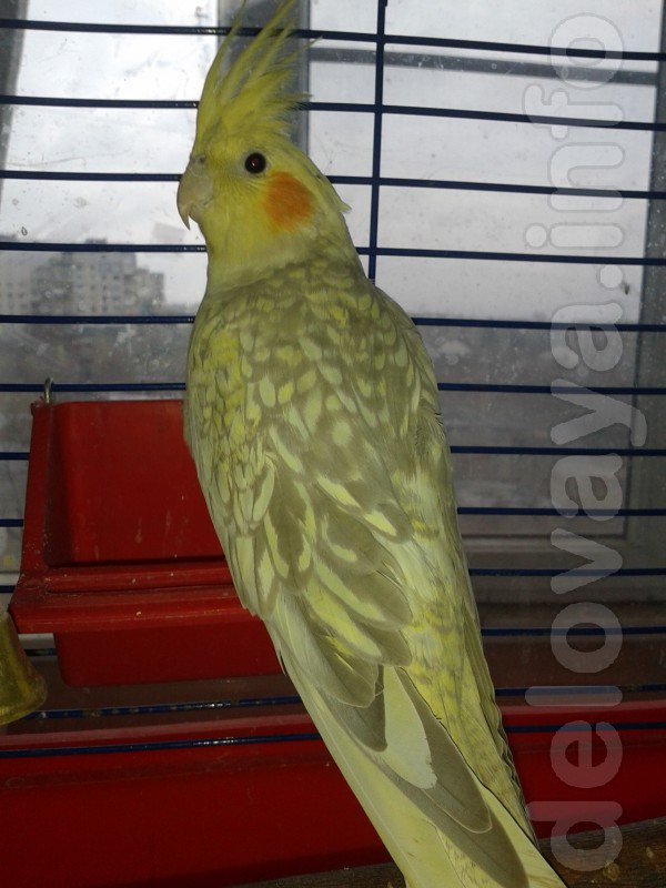 Продам #попугая корелла -мальчик 8 месяцев