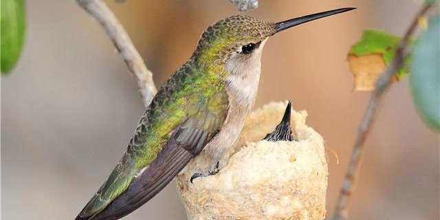 Plant a hummingbird-friendly garden for #PollinatorWeek & maybe a hummingbird will appear or even nest in your yard! https://t.co/HVY23CQWHT