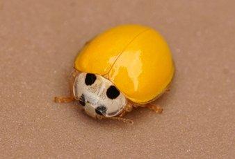 黄色い テントウムシ