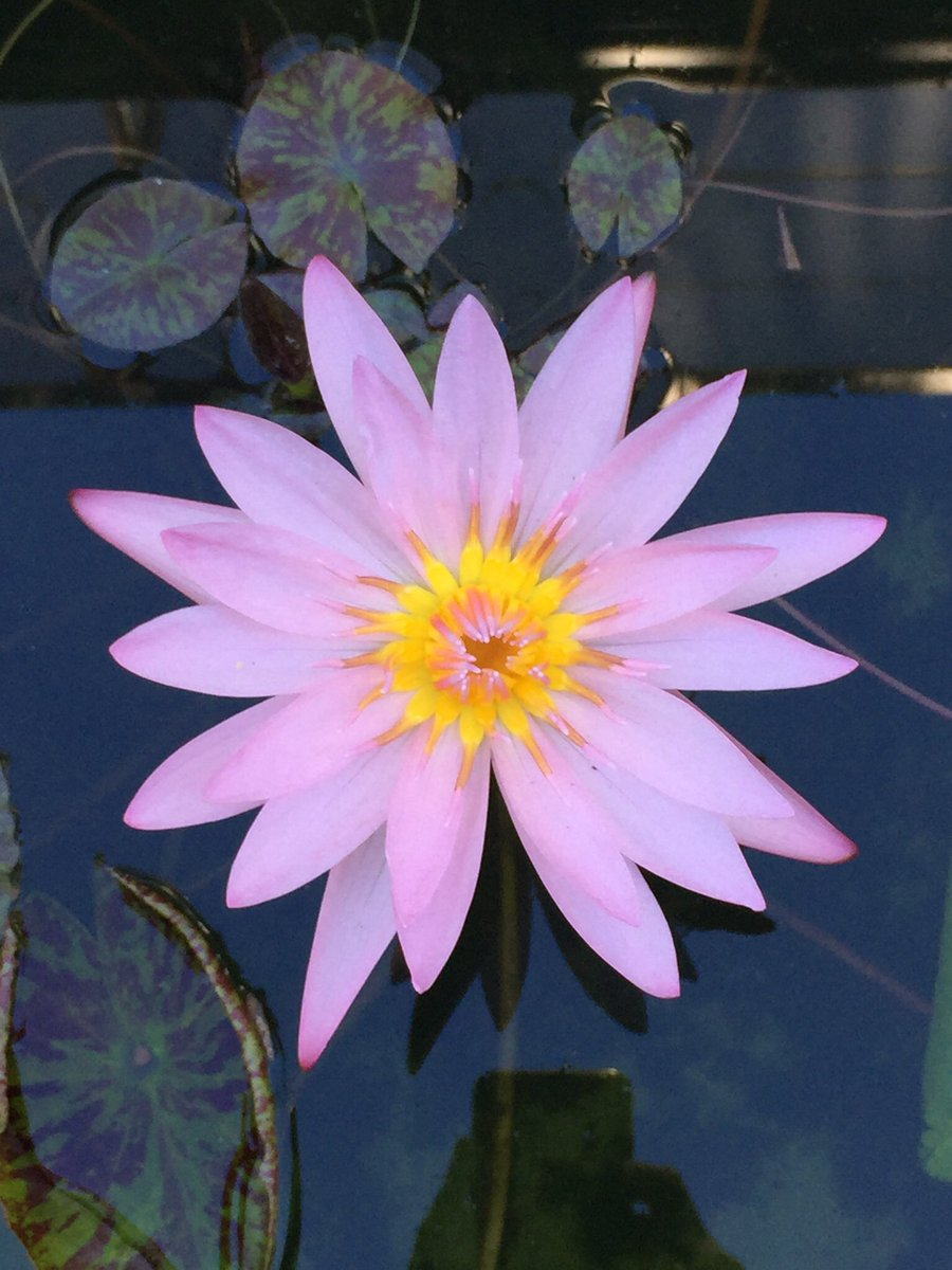 Dr Dale Dixon On Twitter Nymphaea Nymphaeaceae Still Flowering