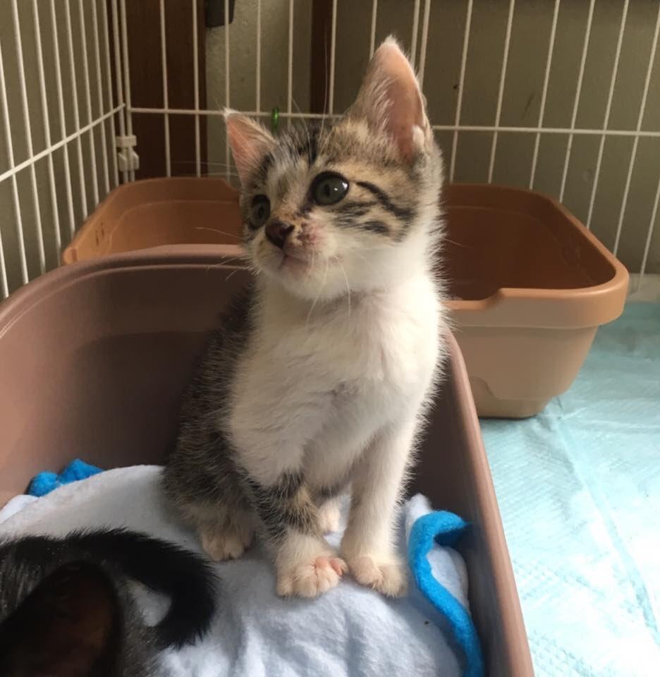 今猫シェルではこのくらいのサイズの子猫ちゃんがたくさんいて預かりボラさんを急募中です!もう少し成長した若猫たちももちろん募集対象ですよ。 《一時預かりボランティア》 https://t.co/aIK1jf7oCA https://t.co/NJtdSYNVKf