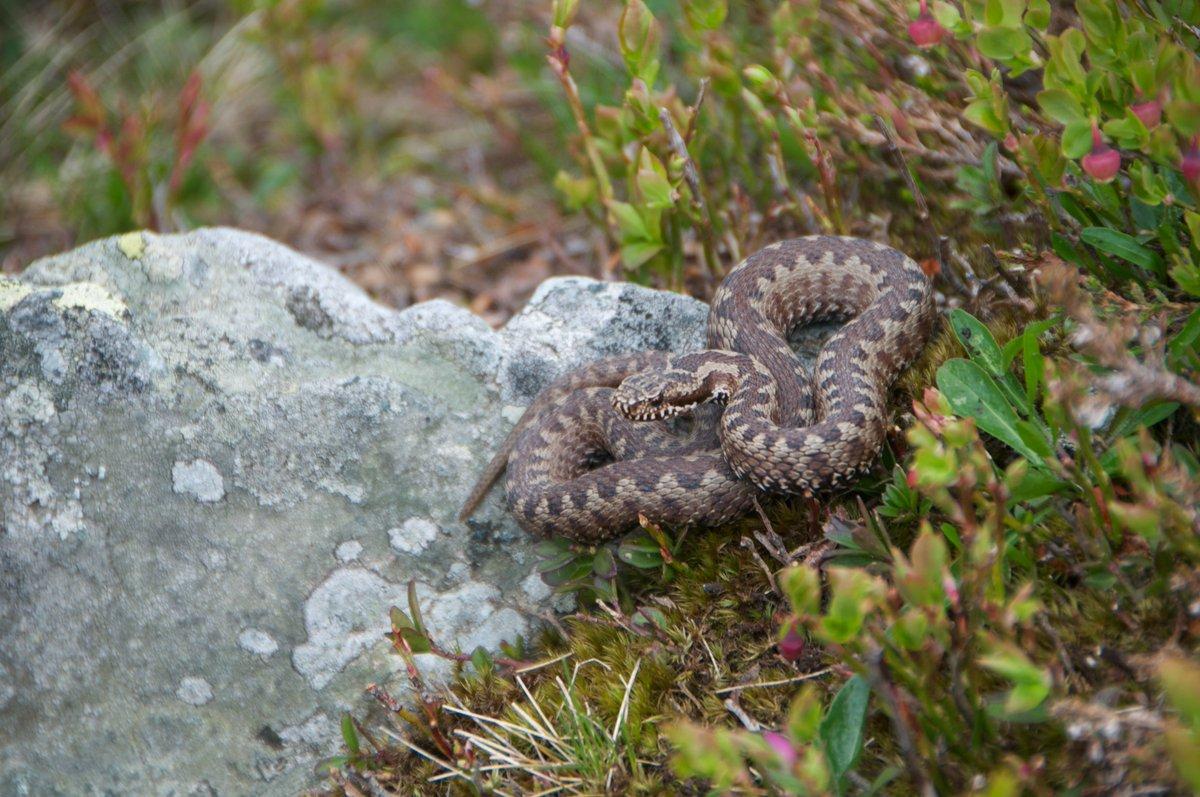 Scoperta nuova specie di vipera nelle Alpi biellesi, già in pericolo d'estinzione