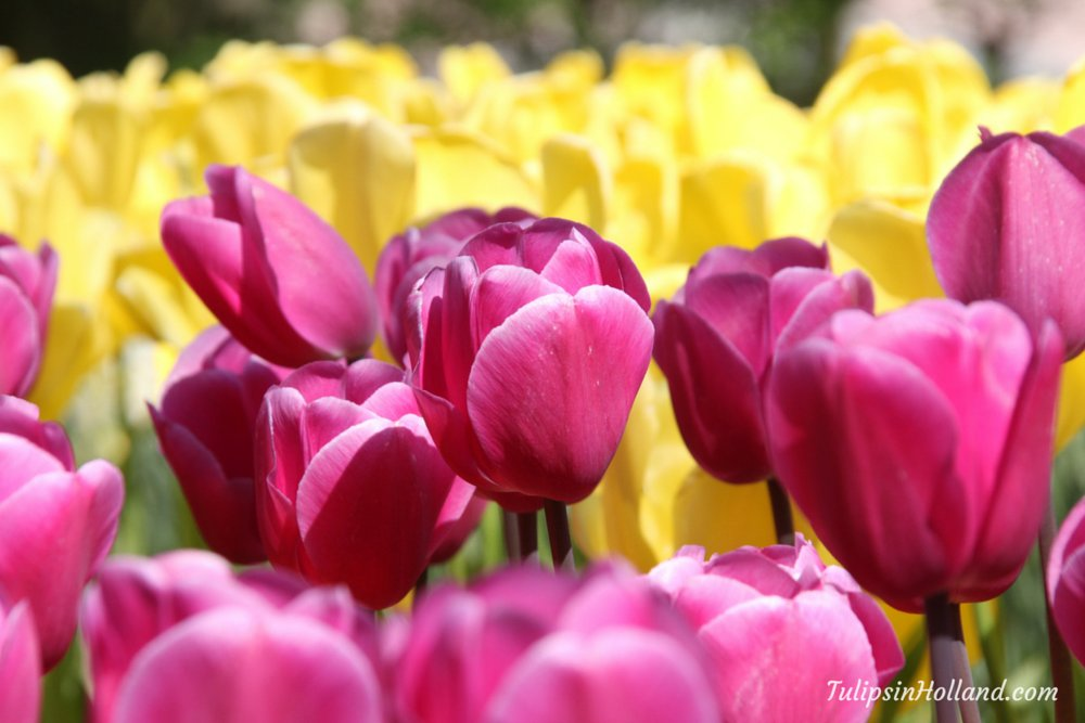 tulips in holland on twitter purple and yellow makes a. Black Bedroom Furniture Sets. Home Design Ideas