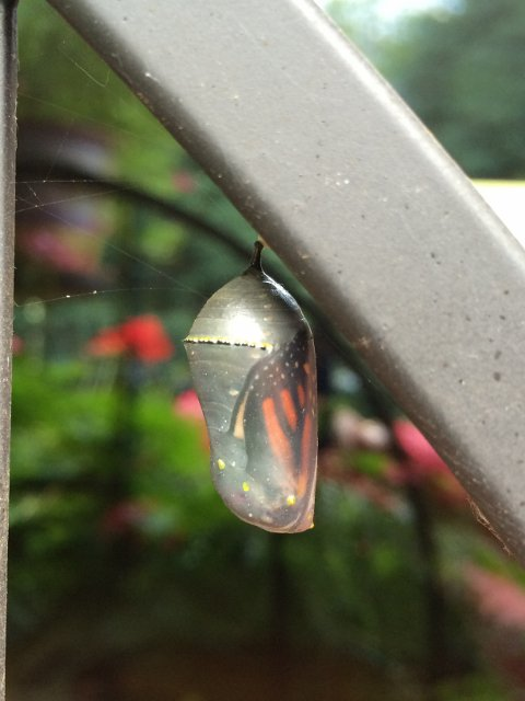 Started growing milkweed last yr to attract #monarchbutterflies Totally hooked when I saw this chrysalis #gardenchat https://t.co/QNJFdEqDK4