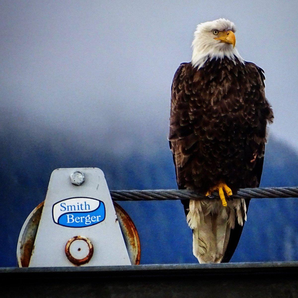 Bird on a wire. #Eagle #Baldeagle #Wildl...