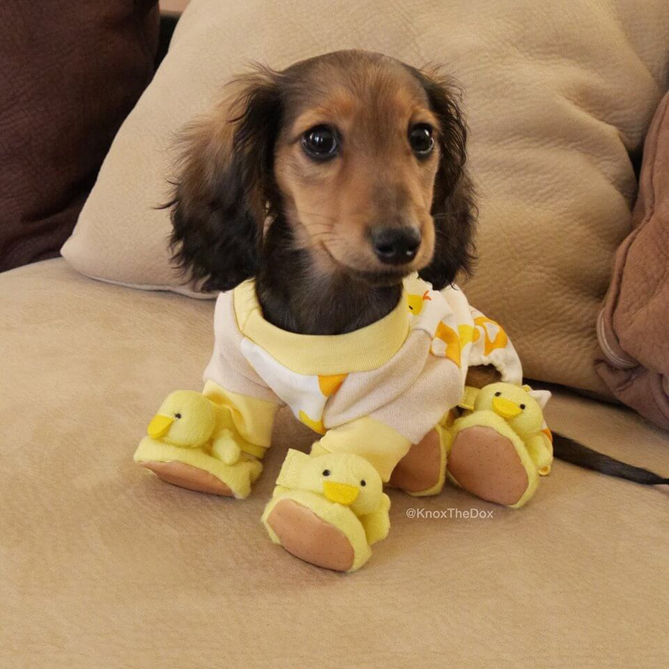 What the world needs right now, is this photograph of a Sausage Dog wearing pyjamas and duckling slippers. x https://t.co/FUAzWKy0sz