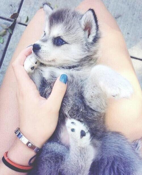 Husky Puppies On Twitter Retweet If You Want This Husky Pup In