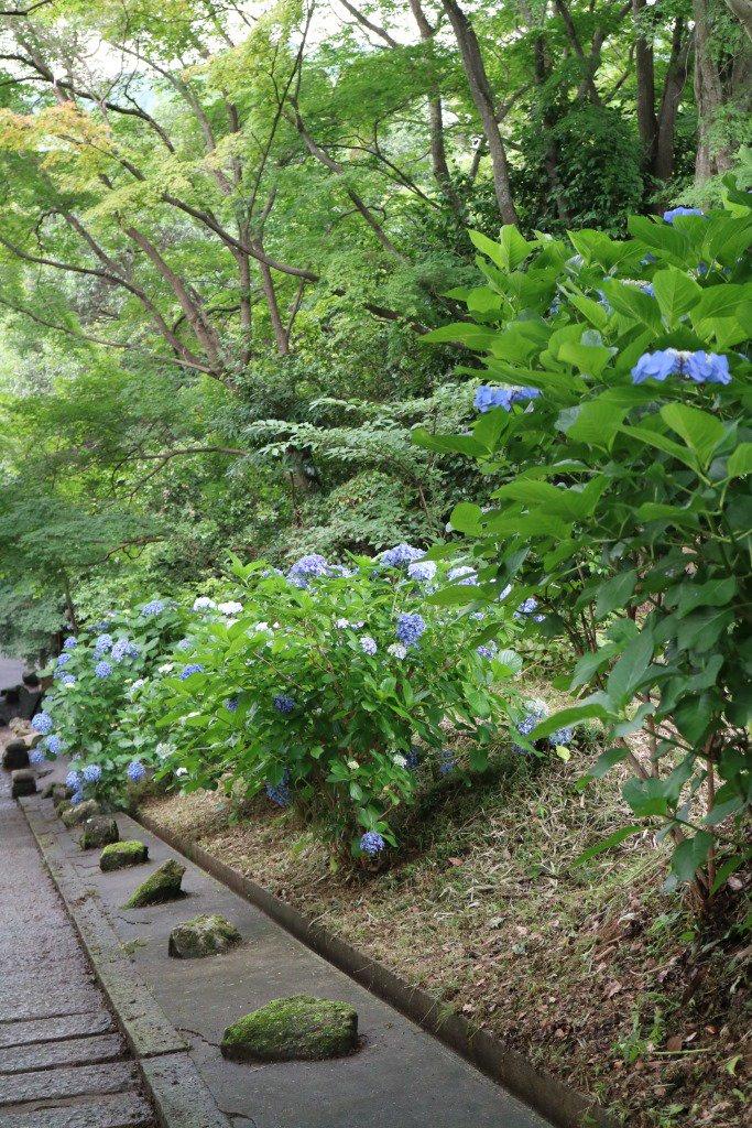 小野妹子墓は、いまあじさいの花がきれいにさいているよ✿ https://t.co/X9UXfPibVb