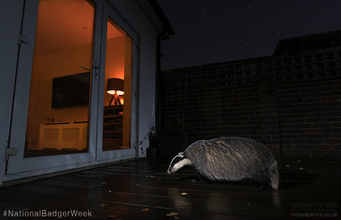 It's #NationalBadgerWeek, we must embrace and support our wild neighbours. Now and always! @Nbadgerweek @BadgerTrust https://t.co/nT4x8m6Fgg