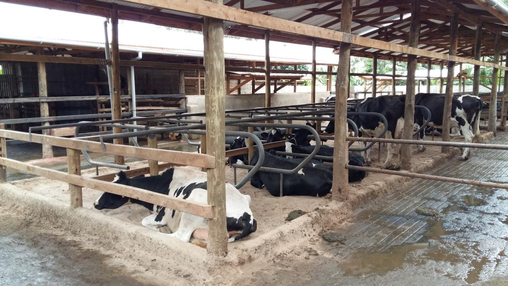 Melle Leenstra On Twitter 1st Demonstration Of Cowhouse Design For