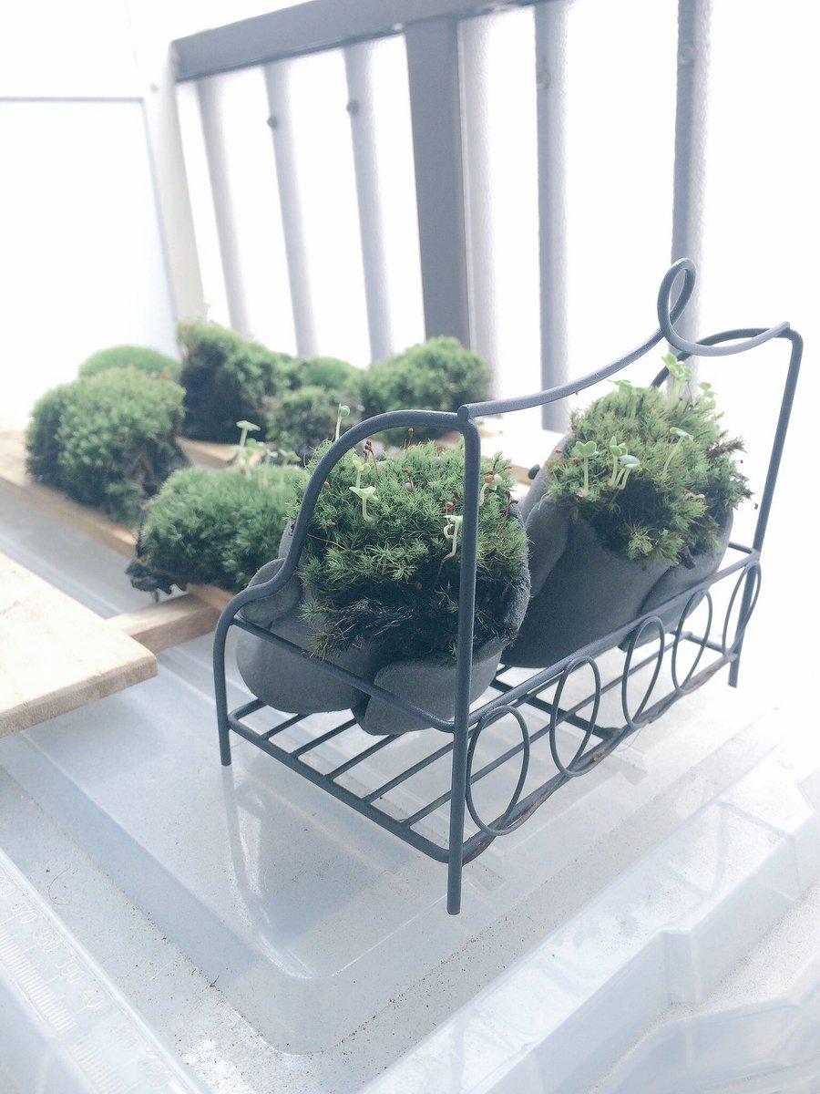 今回頒布する苔は「全てタマゴケ」です。球状胞子は冬の季節じゃないのでついてないですが、自然に草とか茸生えてたりして可愛い。添える種はサラダミックスを予定しています。3日程度で発芽するのでテンションあがるよ! #ぐぶきばち https://t.co/0I28OYsg97