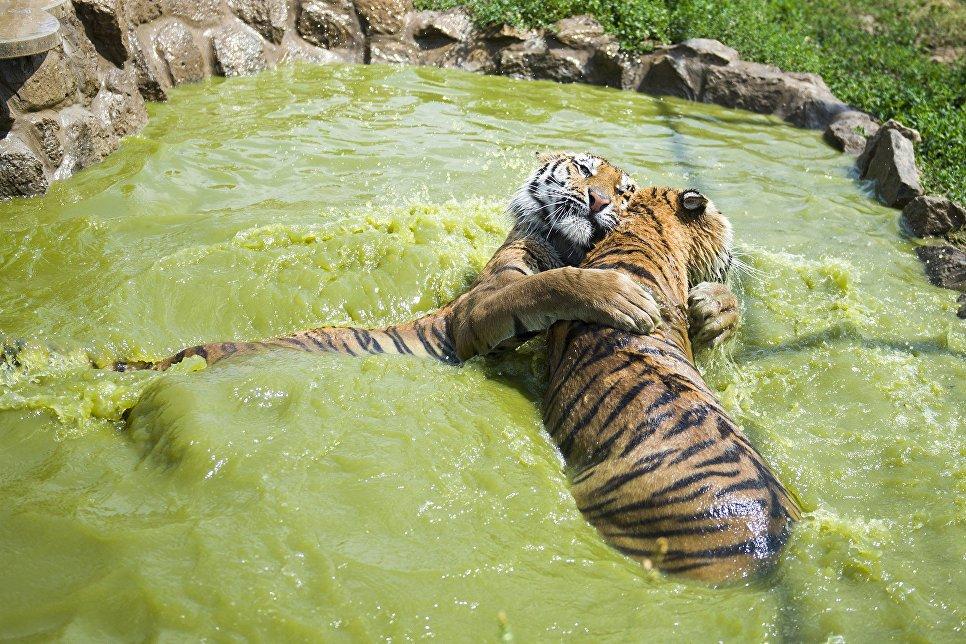 Картинка тигры купаются услуги предлагает