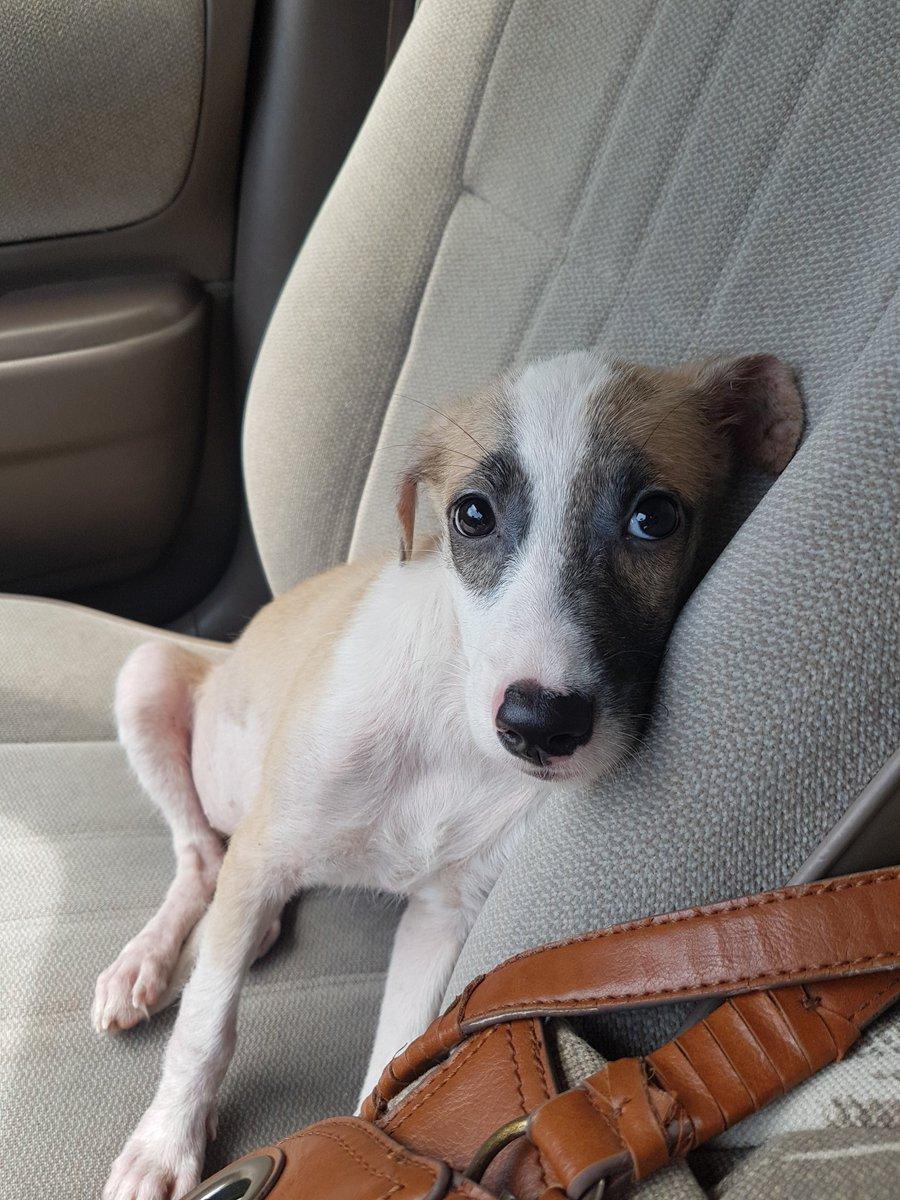 Luna busca hogar! Aprox 3 meses, desparasitada, vacunada. Un amor, se porta super bien y es juguetona. RT por favor. https://t.co/SJPVTwV1QX