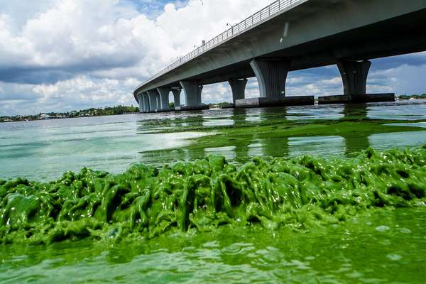 Algae blooms in Florida. Credit FLADems on Twitter