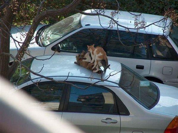 Cat threesome on car  #my4wordlateexcuse https://t.co/Pbx1o6RK63