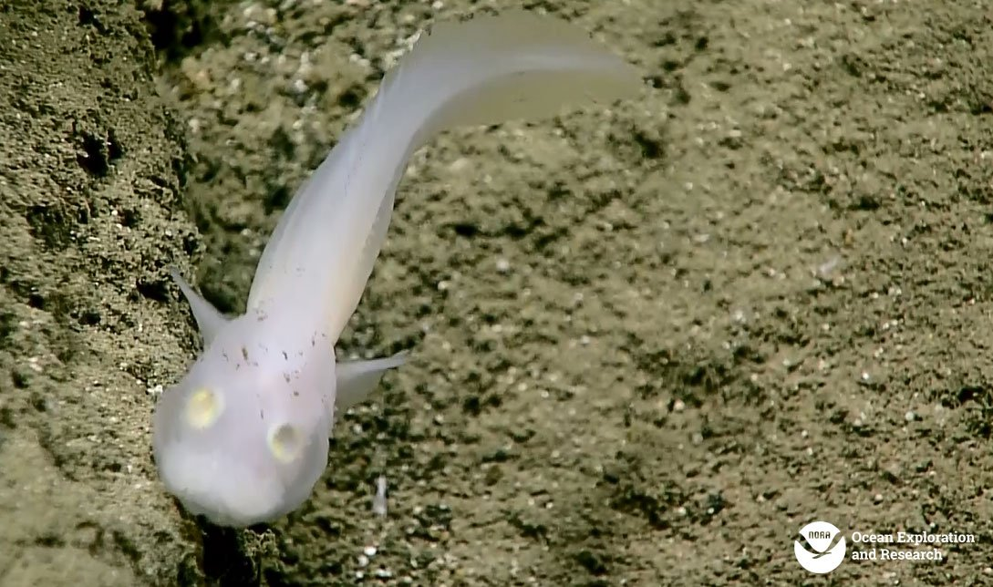 This Ghostly Fish Has Never Been Seen Alive Before. Until Now.