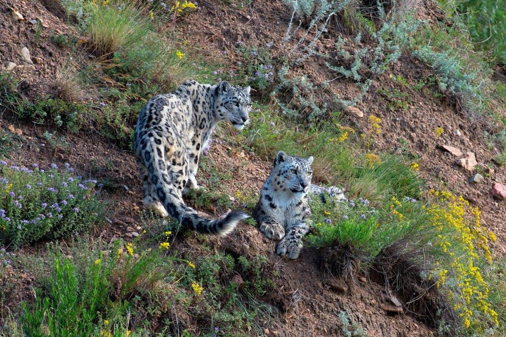 Snow Leopard Consrvy On Twitter World Heritage Species Day Is July