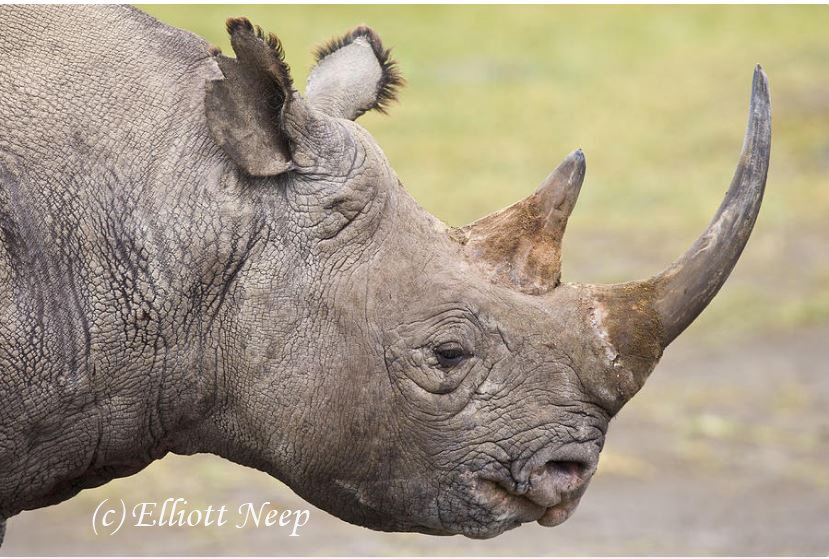 tgp Black rhino