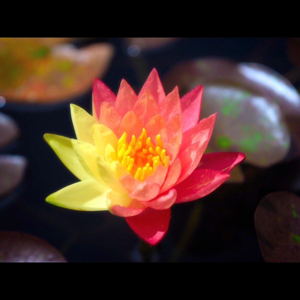 うちの睡蓮が何だか不思議なツートンカラーの花を咲かせた。綺麗な色だな〜 https://t.co/8b8T0HgDFq
