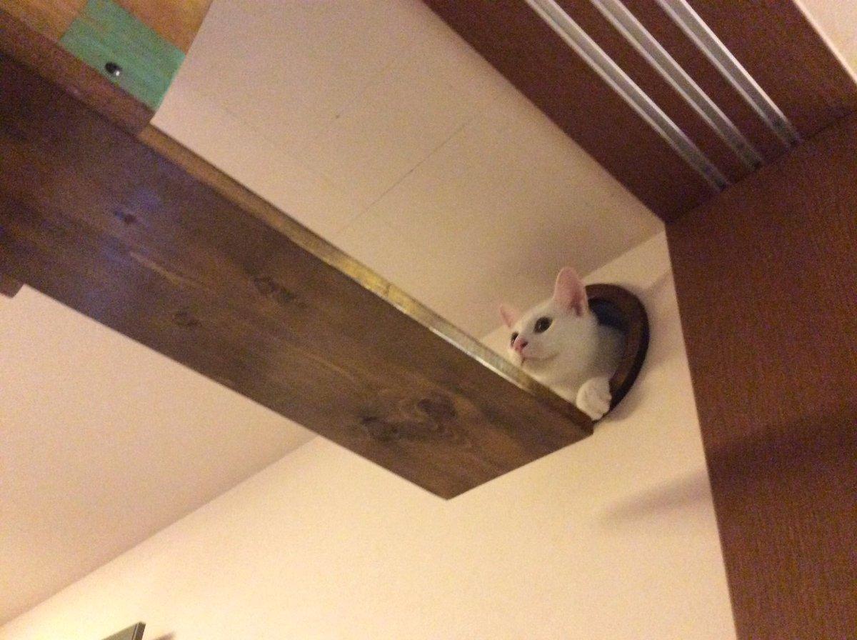 主人が壁に穴あけて作った『猫トンネル&猫通路』開通しました!「何ができるのかにゃ〜」と見守ってた猫たちは新しい道に興味津々!いっぱい遊んでくれるといいな(^ ^) pic.twitter.com/462jJ1dYOO