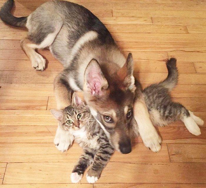 ハスキーが、シェルターから自ら選んだ子猫と超仲良しすぎて本当に幸せそうー https://t.co/w8slpRmHz9 https://t.co/6f3Zyj9wyV