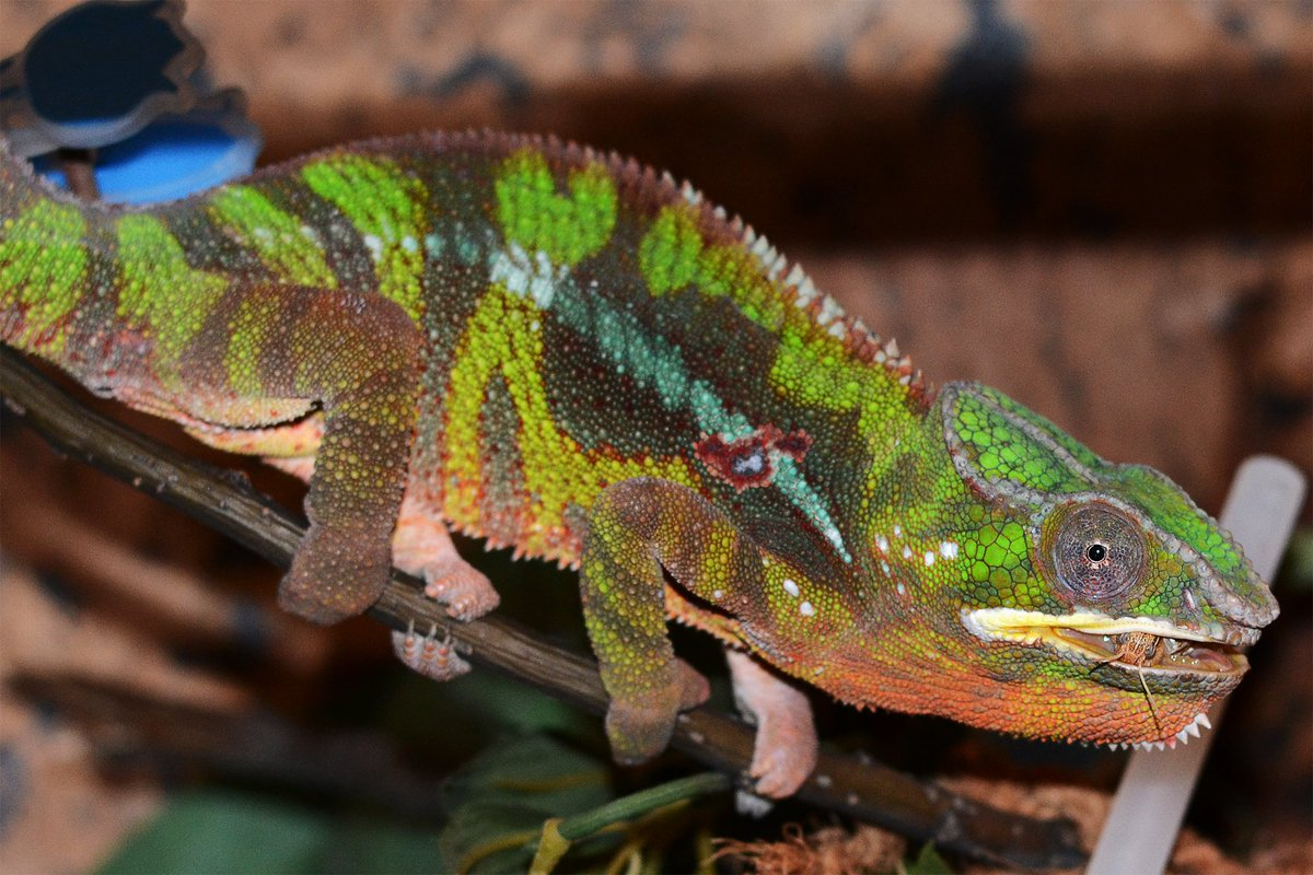 Sexual Dimorphism In Furcifer Pardalis Alias Sexing The Panther