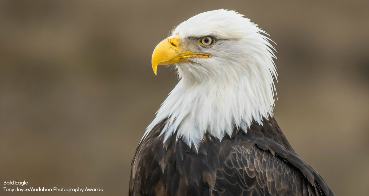 Audubon Society On Twitter Our National Symbol Deserves Protection