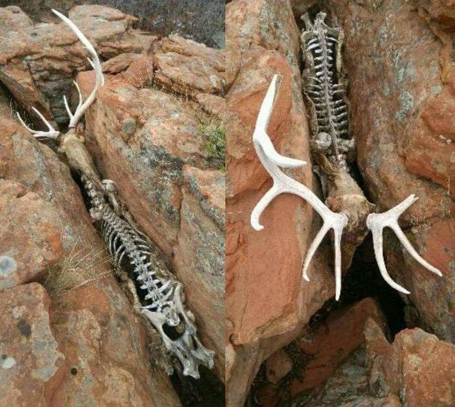 岩に挟まり動けないまま死んだ鹿…これ、自分で想像するとメッチャ怖い!!
