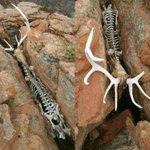 岩に挟まり動けないまま死んだ鹿…これ、自分で想像するとメッチャ怖い!