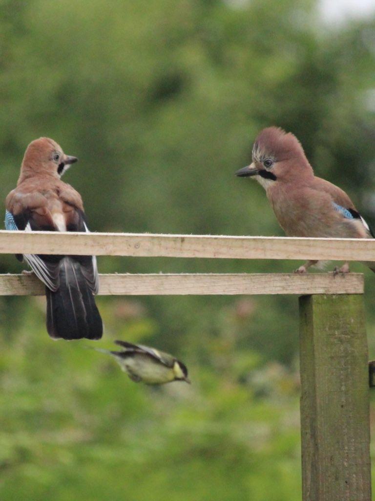Young Jays  - so comical @wildlife_uk @PixofNature_ @NatureUK @BritBirdLovers https://t.co/0YKlsYEpQt