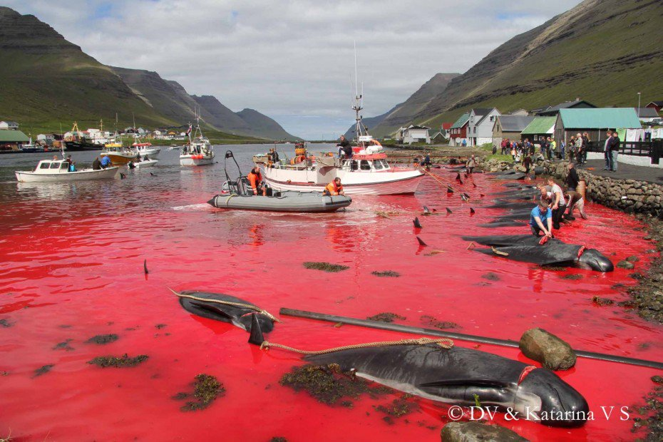 One of the cruellest events on Earth: #FaroeIslands whale hunt has started https://t.co/mZYjq4bGf5 #Faroes #whales https://t.co/Sub4batory