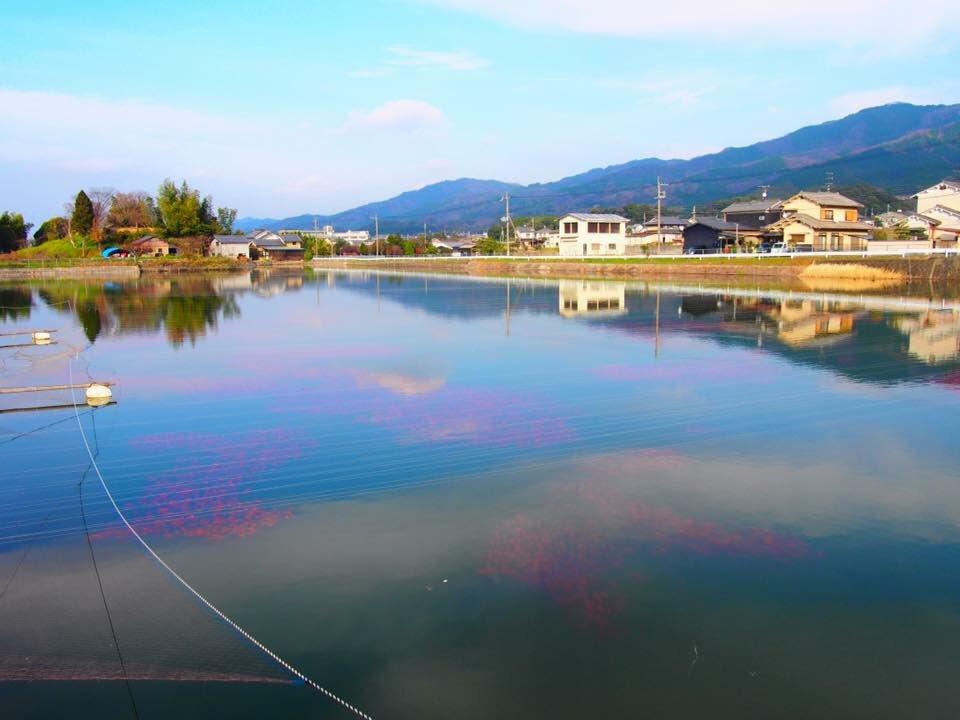 この写真、プランクトンで赤潮じゃ無いんです。 海の無い奈良県のため池の 金魚です。 金魚です。 金魚なんです。