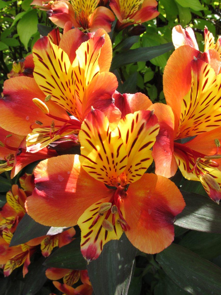 World Love Flowers On Twitter Princess Lily Alstroemeria