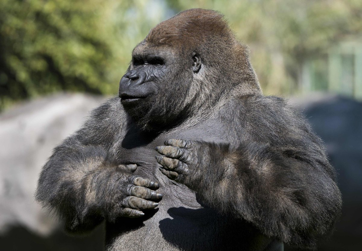 Bantu the gorilla dies after being sedated so he could be taken to another zoo to mate https://t.co/KHQ7BkwEAK