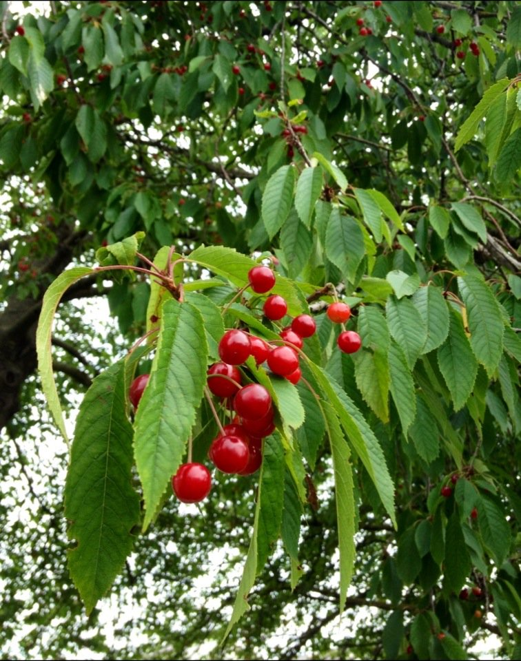 Amazing wild cherry crop by @WoodlandTrust HQ - considering some jelly-making this wknd! #TreeCharter #WildHarvest