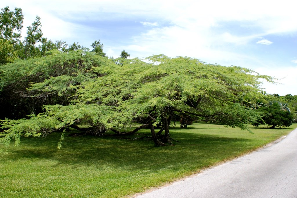Prosopis juliflora, a mesquite tree, growing in the Lowlands